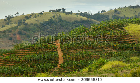 stock-photo-banana-and-coffee-plantation-in-the-same-land-of-south-east-brazil-206668219